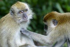 Het verzorgen van apen Royalty-vrije Stock Foto's