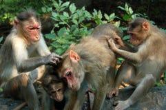 Het verzorgen van de Apen van Macaque Royalty-vrije Stock Fotografie