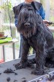 Het verzorgen van de rand van de Schnauzer-hond verticaal royalty-vrije stock foto's