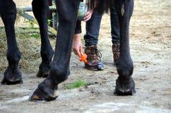 Het verzorgen van haar paard Stock Foto