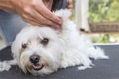 Het verzorgen van het oor van witte Maltese hond door scheerapparaat Stock Foto
