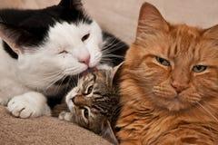 Het Verzorgen van katten Stock Foto's