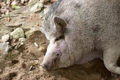 Het vette leuke varken is een mooi huisdier royalty-vrije stock foto