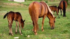 Het veulen en de merrie eten een gras op een weiland Royalty-vrije Stock Foto's