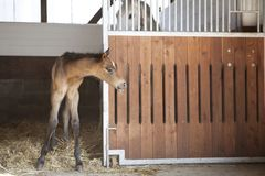 Het veulen kijkt uit paarddoos stock foto