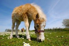 Het veulen van het paard eet gras royalty-vrije stock afbeelding
