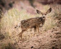 Het veulen van muilezelherten in Zion National Park Stock Foto