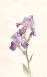 Het violette iriswaterverf schilderen vector illustratie