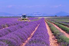 Het violette lavendelstruiken oogsten Mooie kleuren purpere lave royalty-vrije stock afbeeldingen