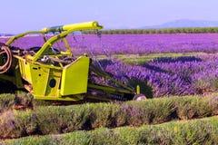 Het violette lavendelstruiken oogsten Mooie kleuren purpere lave royalty-vrije stock afbeelding