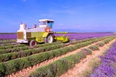 Het violette lavendelstruiken oogsten Mooie kleuren purpere lave royalty-vrije stock foto