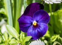 Het viooltje blauwe bloemen van altvioolwittrockiana met groen stock foto's