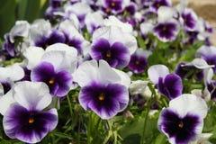 Het viooltje bloeit achtergrond Stock Fotografie