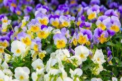 Het viooltje bloeit achtergrond Grote diepte van gebied Royalty-vrije Stock Afbeelding