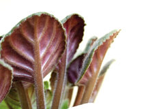 Het viooltje doorbladert van eronder op witte achtergrond met lege ruimte stock afbeelding
