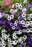 Het viooltje en het wit van de petunia Royalty-vrije Stock Afbeeldingen