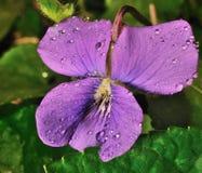 Het viooltje is purper Royalty-vrije Stock Fotografie