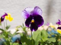 Het viooltje van de Heartseasebloem Stock Fotografie
