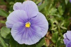 Het viooltje van de lavendel Royalty-vrije Stock Foto's