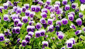 Het viooltje van de lente Stock Afbeelding