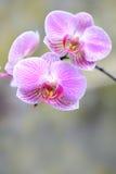 Het viooltje van de orchidee royalty-vrije stock foto's