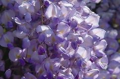 Het viooltje van Glicine stock afbeeldingen