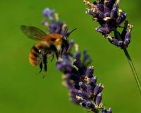 Het vliegen Bombus pascuorum rond de bloemen royalty-vrije stock foto