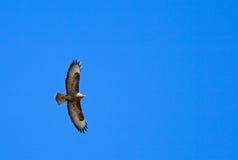 Het vliegen buizerd (buteo van akabuteo) op blauwe hemel Stock Fotografie