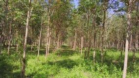 Het vliegen door Rubberboom Forest AerialFlying Through Rubber Tree Forest Aerial stock footage