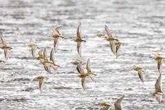 Het vliegen dowitcher en strandloper Stock Foto's