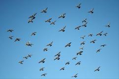 Het vliegen Duifvorming op een Duidelijke Blauwe Hemel Stock Afbeeldingen