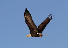 Het vliegen Eagle stock foto