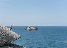Het vliegen en Statusduiven op de rand van rots Dicht bij Oceaan Sydney, Australië Royalty-vrije Stock Foto's