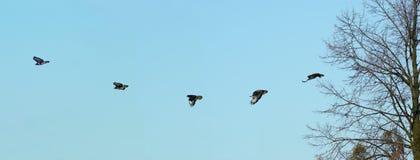 Het vliegen Gemeenschappelijke Buizerd Stock Afbeeldingen
