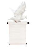 Het vliegen isoleerde witte duif met rol Royalty-vrije Stock Fotografie