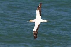 Het vliegen Jan-van-gent Royalty-vrije Stock Foto's