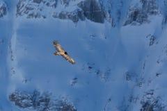 Het vliegen jeugd gebaarde barbatus van giergypaetus met mountai royalty-vrije stock foto's