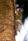 Het vliegen maki het hangen in een boom in een boom Stock Afbeeldingen