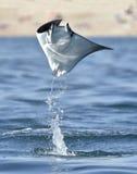 Het vliegen Mobula Ray stock foto