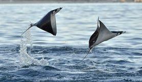 Het vliegen Mobula Ray stock foto's