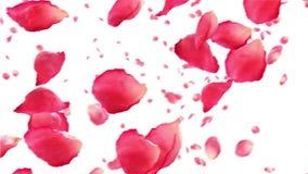 Het vliegen nam bloemblaadjes op wit toe HD 1080 Van een lus voorzien animatie stock video