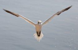 Het vliegen noordelijk jan-van-gent Stock Fotografie