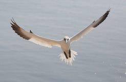 Het vliegen noordelijk jan-van-gent Stock Afbeelding