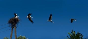 Het vliegen ooievaarsreeks Royalty-vrije Stock Foto