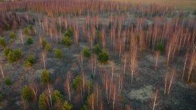 Het vliegen over Berkbosje met Gevallen Bladeren en Groene Pijnboom in Zachte Lichte Zonsondergang stock video