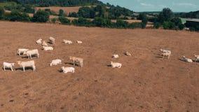 Het vliegen over de kudde van koeien die op geel gebied in de zomerdag weiden Wolken op de blauwe hemel en het gele gras Luchtvei stock video