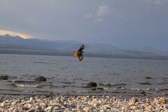 Het vliegen over het meer Stock Afbeeldingen