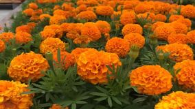 Het vliegen over oranje bloemengebied dicht bij bloeiende bloemen op hoge snelheid stock videobeelden
