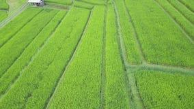 Het vliegen over padievelden stock footage