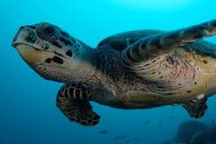 Het vliegen over schildpad in Ras Korali Stock Afbeeldingen